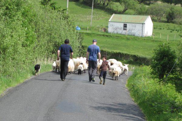 Schäfer Schafe Schottland Wolle