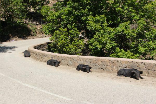 Schweine Wildschweine Korsika