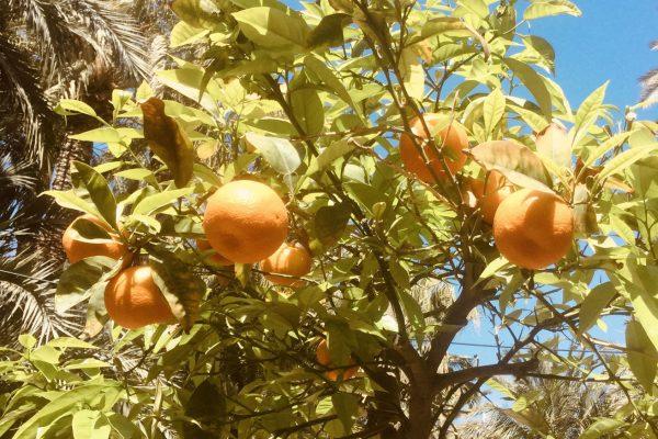 Sizilien-Orangen Orangensaft Paradies Zitrusfrucht