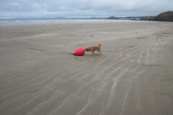 Wales Strand Tibetterrier