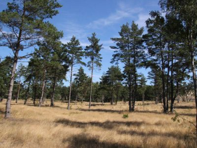 Dünen-Wald