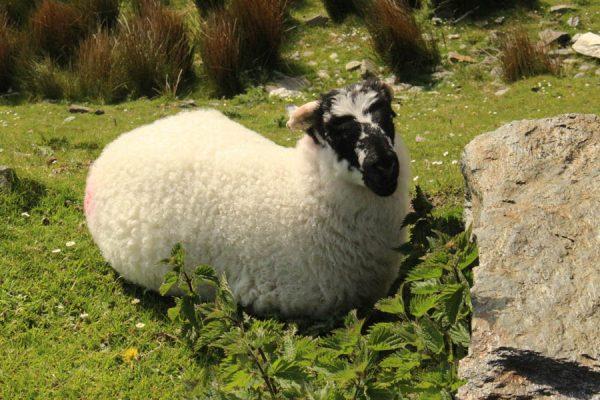 Schaf Irland Wolle