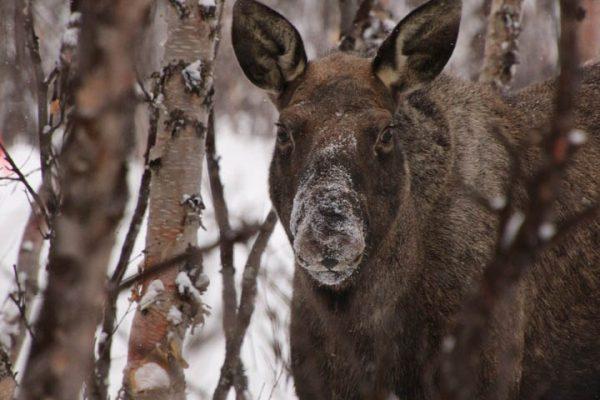 Elch Lappland-im-Winter