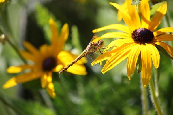 Libelle Sonne Blume Insekt