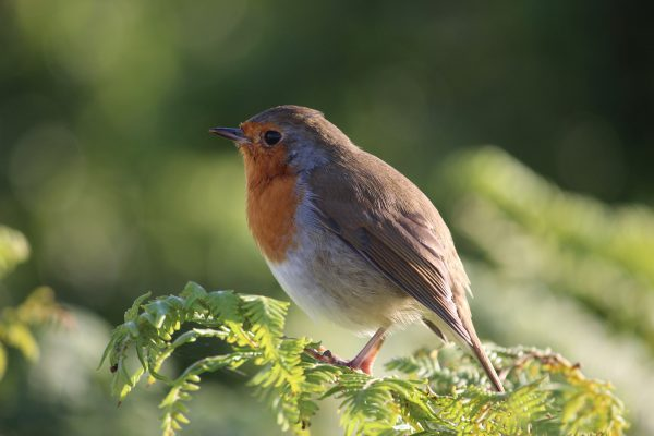 Robin Rotkelchen Vogel