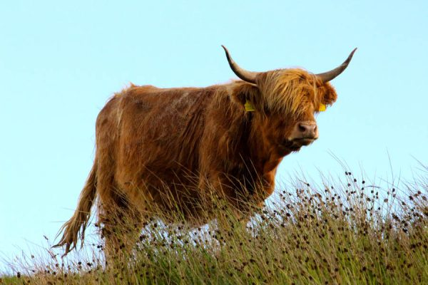 Schottland Rind