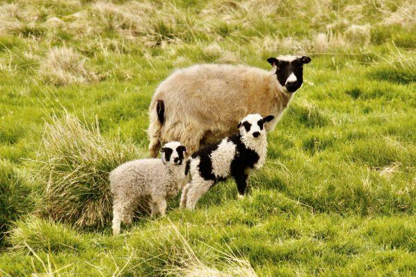 Schafe Wolle Lamm Island
