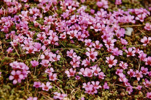 Blumenpracht Bodendecker Island