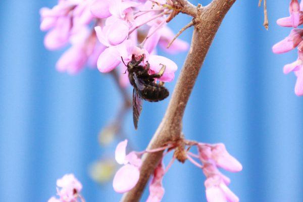 Frühlingsboten Nektar Biene