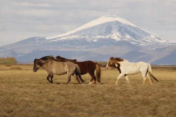 Island-Pferde Island wild